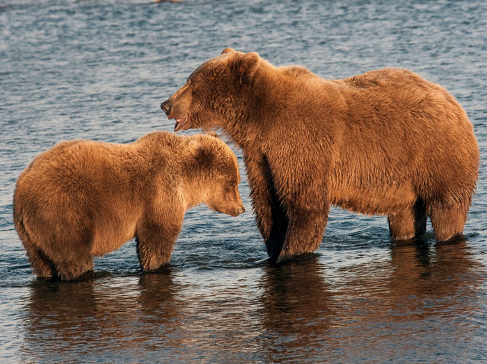 Mother and Baby Grizzly - Katmai Alaska